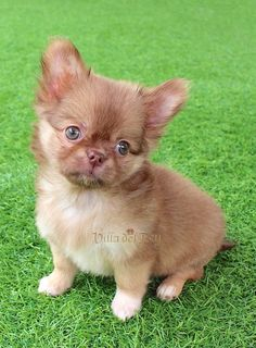 Three months old. Long Haired Chihuahua Puppies, Chihuahua Breeds, Baby Chihuahua, Cute Puppies, Cute Dogs, Long Hair Chihuahua, Animals And Pets, Cute Animals, Cute Animal Pictures