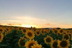 お疲れさま ちと前の夕焼け ひまわり畑夕陽 #ひまわり ##日輪草 #太陽の花 #sunflower #夕陽 #sky #sun #sunset #sunshine #sol #red #sky #clouds #sunflowers #北海道 #名寄  #なよろひまわり #ひまわり畑 #向月葵 #해바라기 #葵花#向日葵 #星守る犬 #STARPROTECTORDOG #ビタミンカラー #adoration  あとは家のひまわりを撮ろう