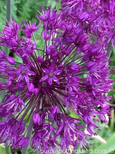 Alliums - perfect pops of colour!  www.purplepottingshed.com