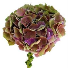 Antique purple garden rose