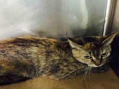 RIVER - A1035898   ***TO BE DESTROYED 05/14/15*** HEADBUTTING YOUNG TORBIE CHARMER, ...  http://nyccats.urgentpodr.org/river-a1035898/