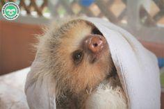 Two Toed Sloth, Sloths, Animals, Animales, Animaux, Animal, Animais, Lemur, Sloth