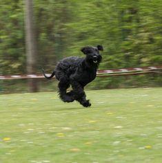 Wir sind Züchter von Riesenschnauzern in Bayern, Mitglied im PSK und VDH. Unsere Hunde und Welpen leben bei uns in der Familie im Haus.