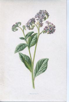 Heliotrope (annual)