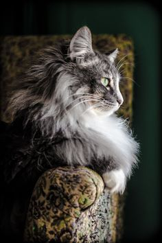 Fluffy #cat breeds - My Norwegian Forest cat Boots is a twin to this beauteous vision of lovliness :) #CatBreeds