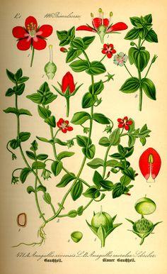 Anagallis caerulea http://caliban.mpiz-koeln.mpg.de/thome/band4/tafel_010.jpg
