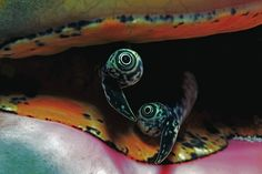 This photo of the eyes of a queen conch was taken during a night dive at Tiger Beach, Bahamas