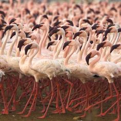 Migrating Flamingo's