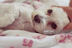 Stock Photo : Close-Up Of Dog Lying Down