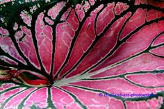 Google Image Result for http://www.thailand-art-photography.com/wp-content/gallery/thailand-art-photography/caladium-bicolor1.jpg