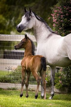Beautiful horses, grey mare and foal. Found on varianarabians.com