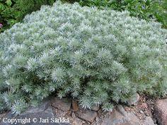 OHOTANMARUNA -  KRYPMALÖRT. Artemisia schmidtiana. Kukinnon väri: hopeiset lehdet. Valovaatimus: aurinkoinen. Korkeus: 25 cm. Kestävyys: melko kestävä. Lisätietoja: myrkyllinen. Särkän taimistolta.