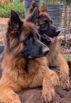 German Shepherd Breeds, German Shepherds, Cute Dogs And Puppies, Doggies, Schaefer, Four Legged, Mans Best Friend, Animal Shelter, Cute Animals