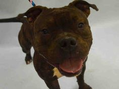 SAFE - 01/17/16 - TIRAMISU - #A1062680 - Urgent Manhattan - FEMALE BR BRINDLE/WHITE STAFFORDSHIRE MIX, 2 Yrs - STRAY - NO HOLD Intake 01/10/16 Due Out 01/13/16