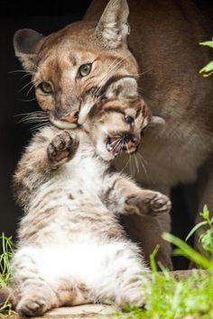 Mountain Lioness with her Cub