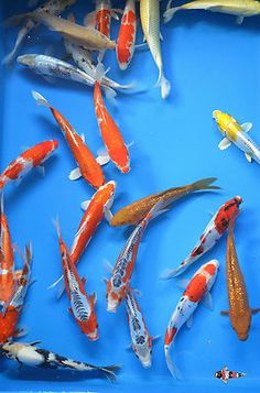 Live Koi Fish Multi Koi Combo Five 5 Koi of Your Choice | eBay