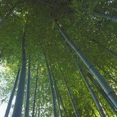 Learn how to grow and manage this giant evergreen grass. Bamboo Garden, Bamboo Plants, Diy Garden, Gnome Garden, Garden Landscaping, Non Invasive Bamboo, Growing Bamboo, Organic Gardening Tips, Ornamental Plants