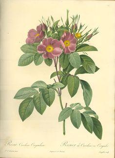 Antiqued Vintage Pink Wild Rose