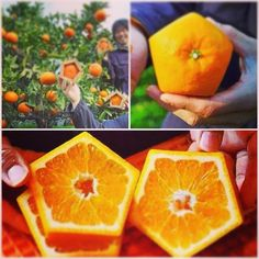 DIY pentagon orange, saw this online & wanted to share with sweetoothers who grow their own fruits!  #fruit #orange #grow #garden #pentagon #shape #remake #easy #diy #green #organic #cool #wow #healthy #health #tree #decoration #must #creative #interesting