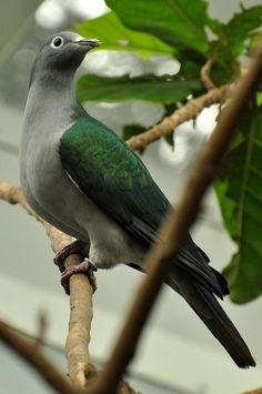 Ducula perspicillata - Brillenfruchttaube - White-eyed imperial pigeon by Kowari, via Flickr