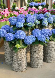 Give your garden a feel of the flower marketplaces in Japan selling hydrangeas by using wicker or woven tall vases. Make sure you use the same color and blend when using this arrangement. Hydrangea Potted, Hydrangea Arrangements, Hydrangea Flower, Hydrangeas, Flower Planters, Flower Pots, Starting A Garden, Blue Garden, Garden Pots