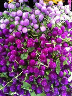 Fall flowers - Globe amaranth