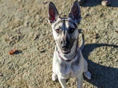 German Shepherd Dog dog for Adoption in Placerville, CA. ADN-409943 on PuppyFinder.com Gender: Female. Age: Adult