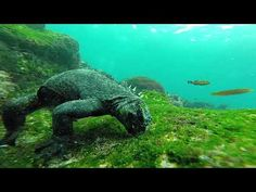 Sunfish. Galapagos - YouTube