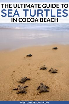 Sea Turtle Watch on Cocoa Beach! Florida Resorts, Orlando Resorts, Florida Vacation, Florida Travel, Florida Beaches, Vacation Villas, Usa Travel, Beach Resorts, Turtle Beach Florida