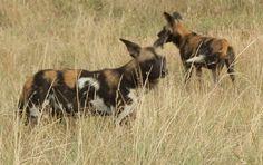 Wild dogs with a kill at Loisaba Wilderness, Laikipia, Kenya.  26.8.12.  www.loisaba.com