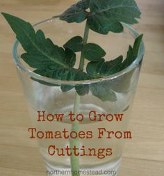 Did you know you can start new tomato plants from cuttings?
