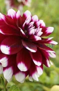 Dahlia Mistery Day - Dutch Garden World