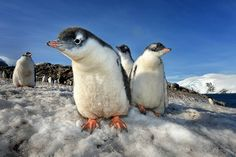 Smithsonian Photo of the Day:  A group of curious gentoo penguin chicks Photo by Max Seigal (Boulder, colorado); Antarctica