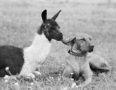 The Pointer–Rhodesian Ridgeback Mix and Her Baby Llama