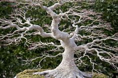 I think this is a Weirwood tree. Obviously it needs to be in my imaginary backyard.