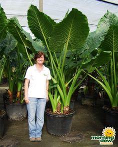 Alocasia calidora - giant leaves!