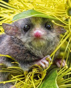 The pygmy possum of the Australian rainforest.