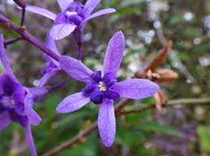 Petreia, viuvinha, coroa-de-viúva e flor-de-são-miguel são alguns nomes populares da Petrea subserrata, uma planta nativa do Brasil. Em setembro, ou seja, final do inverno e começo da primavera, a viuvinha se torna lilás, por conta de seus cachos de flores arroxeadas.
