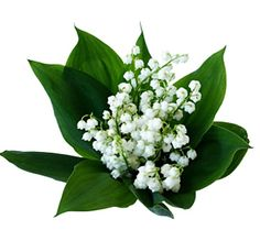 Lily of the Valley: My Mother's favorite flowers.