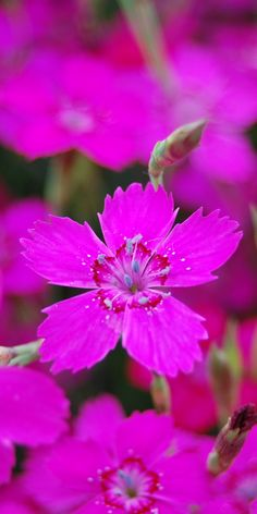 Shade Garden Flowers And Decor Ideas Dianthus Deltoides Flower Exotic Plants, Exotic Flowers, Colorful Flowers, Pink Flowers, Blossom Garden, Blossom Flower, My Flower, Wonderful Flowers, Beautiful Flowers