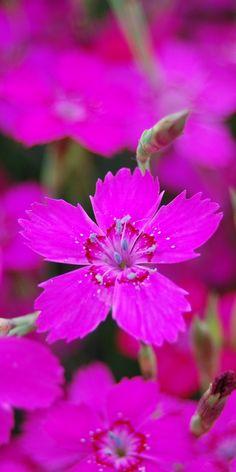 Dianthus deltoides flower