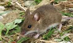 The mice in attics and the rats  in garbage bins — along with those used in research labs — belong to the Murinae group of rodents. These mammals have many body types and sizes, ranging from a fraction of an ounce to more than 4 pounds.    Native to Europe, Asia, and Australia, Old World rats and mice now have a nearly planet-wide presence.