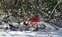 Cardinal in the snow digital art photography