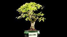 Bonsai Duranta Erecta AHL.34.2299 - kebunbibit Duranta, Yellow Fruit, Evergreen Shrubs, Bonsai, Blue Flowers, Lilac, Tropical, Plants, Syringa Vulgaris