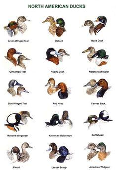 North America Duck