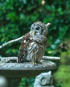 Barred Owl bath by Russ Wigh on Flickr.