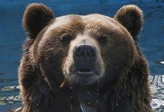 """""""O GRITO DO BICHO"""": Ataques de ursos esfomeados deixam cidade russa em..."""