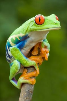 Red-eyed Tree Frog (Agalychnis callidryas) Central America More Informations About Red-eyed Tree Frog (Agalychnis callidryas) Central America … Pin You … Funny Frogs, Cute Frogs, Frog Pictures, Animal Pictures, Reptiles And Amphibians, Mammals, Beautiful Creatures, Animals Beautiful, Frosch Illustration