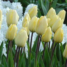 Tulip 'VANILLA CREAM' - Mid