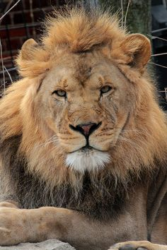Lion - I AM the King!